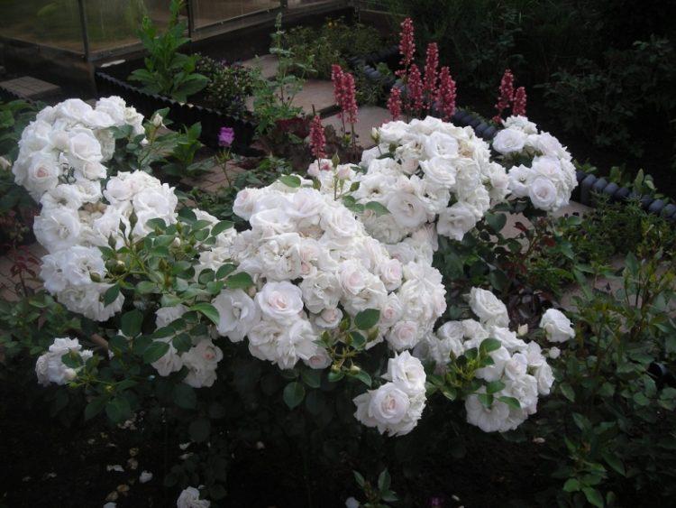 роза аспирин фото и описание каждого
