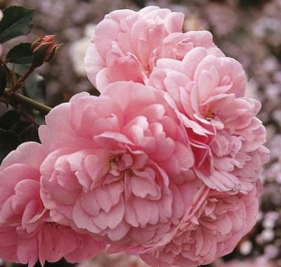 Основные правила выращивания французского сорта роз Боника 82