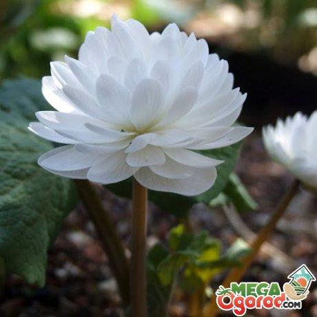 Сангвинария секреты успешного выращивания
