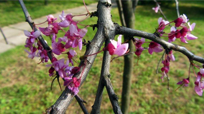 Особенности выращивания церциса посадка и уход