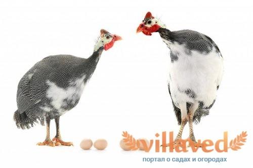 Сколько дней высиживают яйца фазаны когда начинают