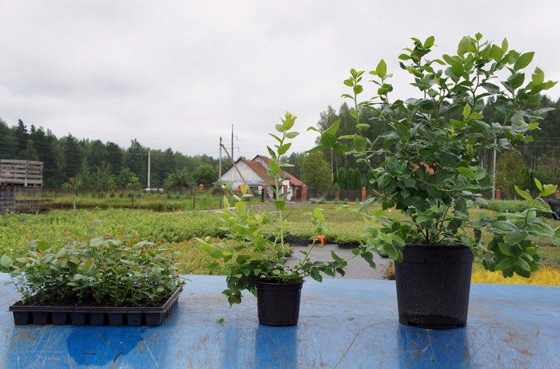 Голубика нортланд описание сорта - Сад и огород