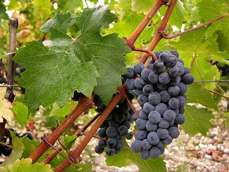 Виноград Каберне Совиньон описание сорта особенности выращивания саженцев и использование