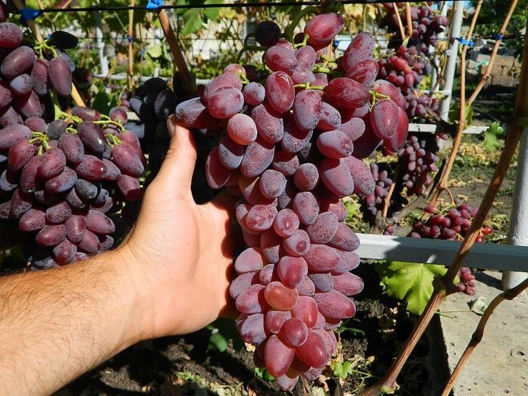 Виноград ромео описание сорта