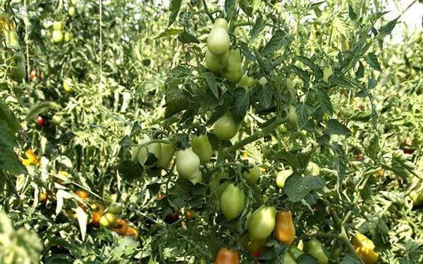 Характеристика и описание помидор сорта Дамские пальчики