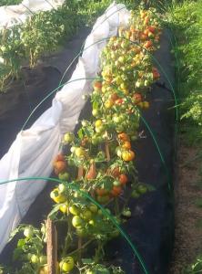 Характеристика и описание сорта томата Лабрадор его урожайность