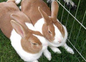 Почему у кролика горячие и холодные уши