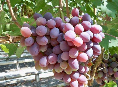 Виноград Атаман описание сорта его характеристики и особенности