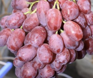 Сорт винограда малиновый супер описание