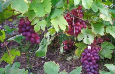 Виноград памяти хирурга описание сорта
