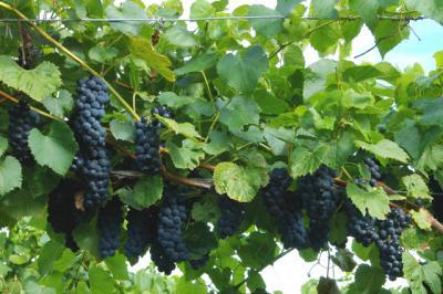 Ранняя пташка — универсальный виноград Вэлиант - Сорта винограда, Универсальные