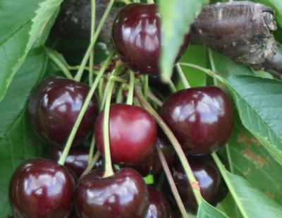 Вишня Чернокорка: описание и характеристики сорта, регионы для выращивания