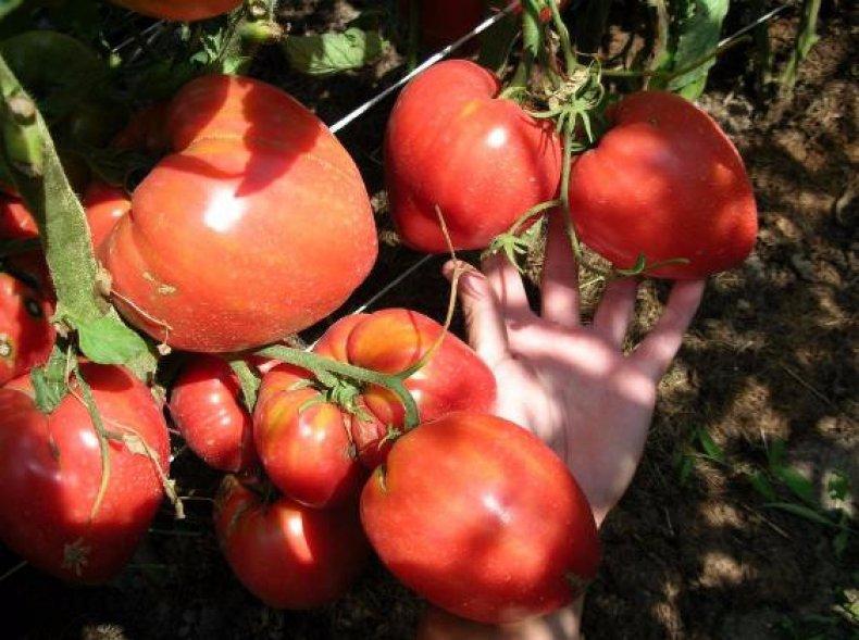 томат чудо земли описание сорта фото отзывы комментариях
