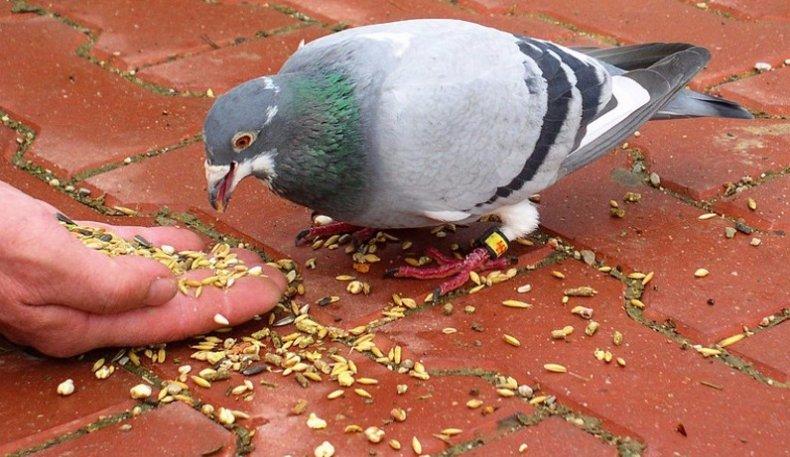 Что любят клевать голуби