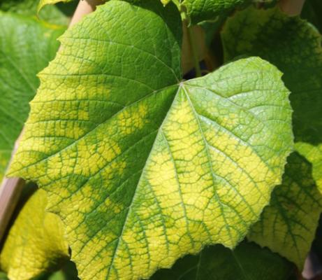 Хлороз винограда: лечение железным купоросом