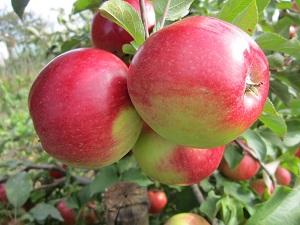 Сорт яблони Лигол характеристика достоинства и недостатки