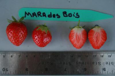 Мара де Буа — гибрид клубники и земляники