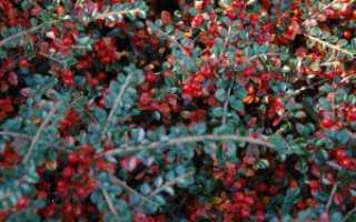 Наиболее популярные виды кизильника (описание и фото кустарников)