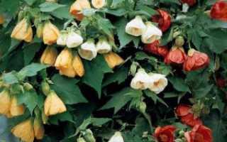 Абутилон: секреты выращивания домашнего клена