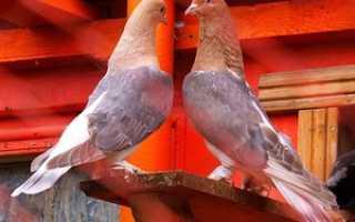 Классификация пород голубей, Породы домашних голубей, Все о голубях, Литература