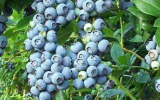 Голубика: полезные свойства и противопоказания, какие витамины есть