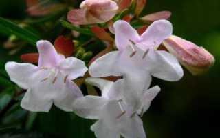 Абелия крупноцветковая: правила ухода и размножения