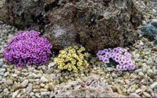 Цветы камнеломки: описание, посадка, уход, виды и особенности выращивания