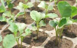 Выращивание белокочанной капусты в открытом грунте: уход и удобрения
