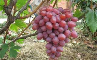 Виноград Анюта: описание сорта, достоинства и недостатки