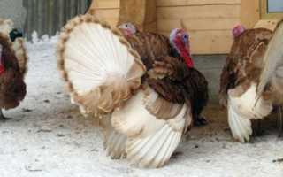Выращивание индюков на мясо в домашних условиях
