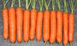 Морковь Нантская 4: характеристика и описание сорта, посадка и уход