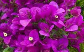 Виды и сорта бугенвиллии — Комнатные растения и цветы