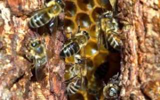 Как появляетcя улей в дупле и как выманить и пересадить оттуда пчел