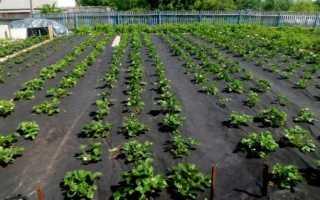 Как посадить клубнику под черный укрывной материал? Как сажать ягоду под пленку осенью и выращивание, как правильно укрывать, отзывы