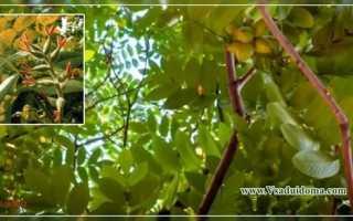Маньчжурский орех (фото) — выращивание саженцами, Сайт о саде, даче и комнатных растениях