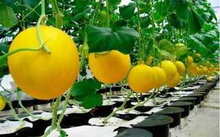 Выращивание дыни в теплице из поликарбоната: посадка и правила ухода