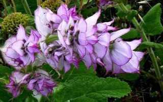 Шалфей мускатный: лечебные свойства и противопоказания