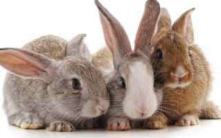 Как определить пол кролика: отличия
