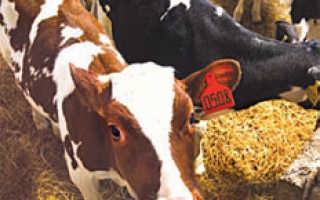 Чем кормить корову зимой