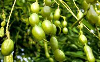 Софора Японская – применение, лечебные свойства и противопоказания