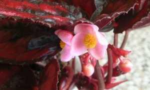 Бегония Краснолистная: описание комнатного растения, уход и размножение в домашних условиях, фото