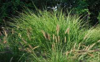 Осока – трава-сорняк или декоративное растение?