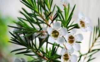 Секреты успешного выращивания хамелациума в домашних условиях