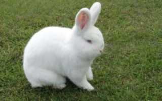 Новозеландский кролик белый