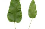 Смилакс (сассапариль) — описание с фото травы; лечебные свойства корня