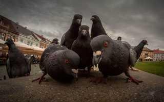 Чем отравить голубей: выбираем средство отпугивания