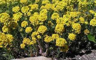 Бурачок – полезные свойства и применение бурачка, цветы бурачка
