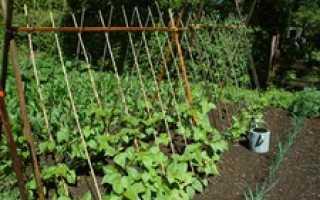 Стручковая фасоль: уход и полив на даче, как сажать в Сибири