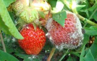 Чем обработать клубнику от болезней