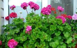 Герань зональная: что это такое, основы ухода за растением в домашних условиях и фото сортов цветка